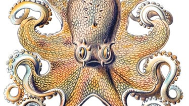 Octopus with big eyes