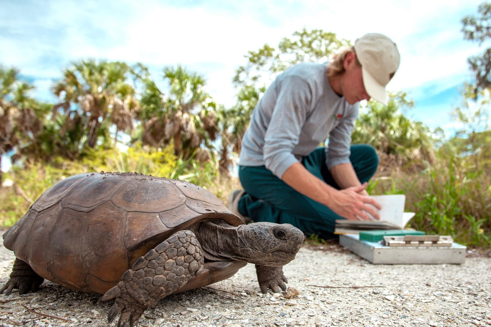 Gopher tortoise walks by as student researcher records data