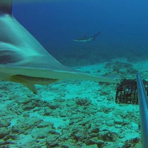 Hammerhead shark swimming close to camera