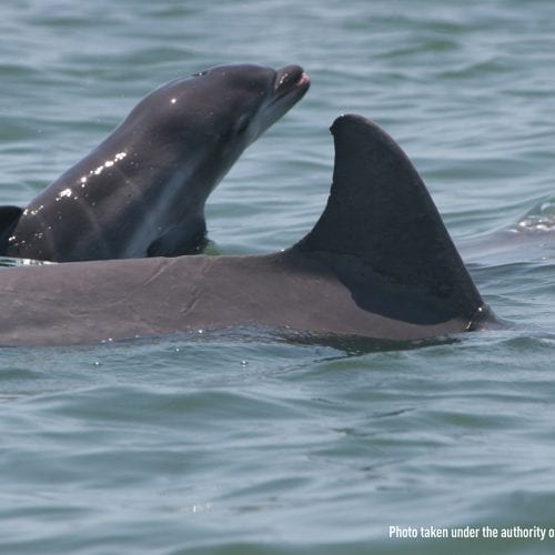 Dolphin calf swimming next to mother dolphin