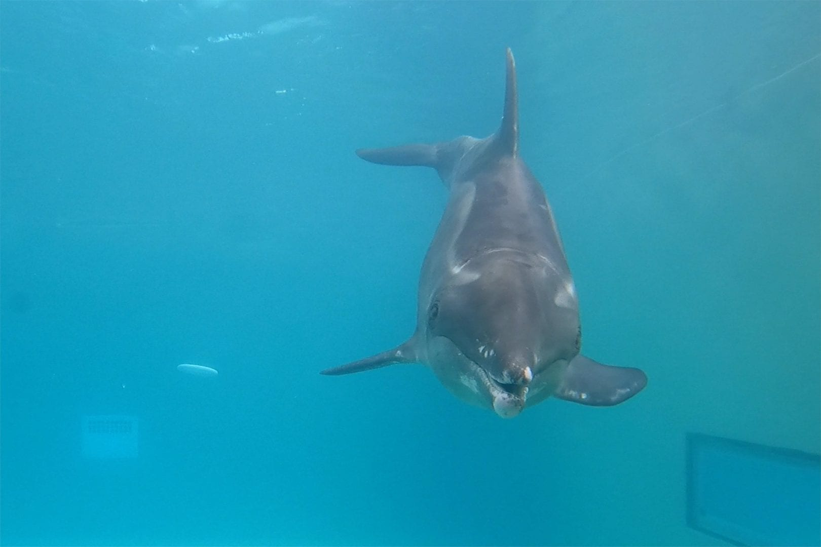 A rought-toothed dolphin swimming underwater