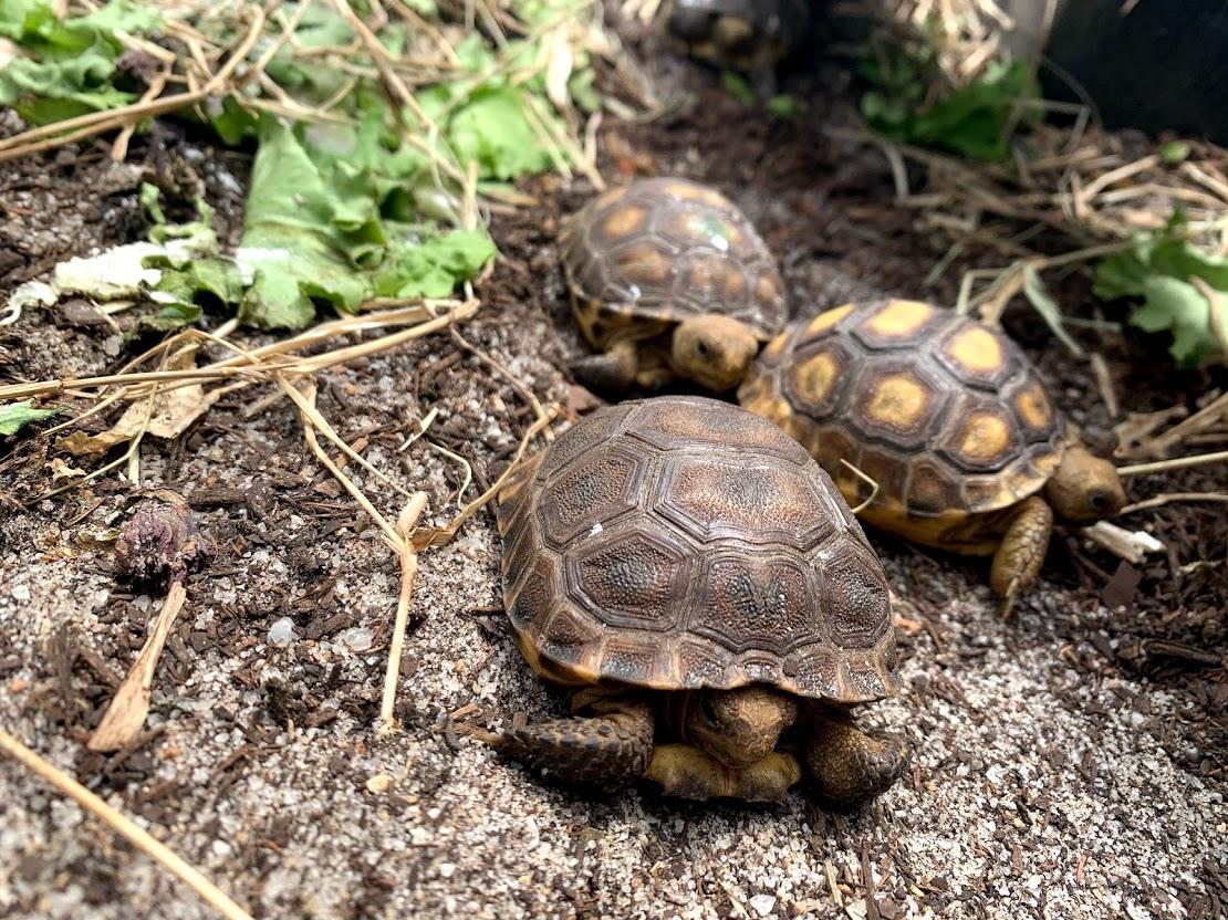Baby gopher tortoises